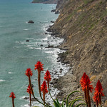 Red Hot Pokers, Big Sur