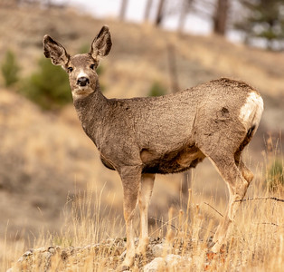 Mule deer does were only weeks away from the rut