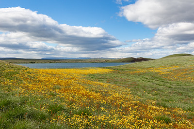 Skutustadadigar Pseudo-Craters and Wildflowers