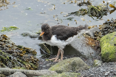 Oystercatcher chick
