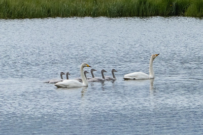 Whooper Swans and chicks