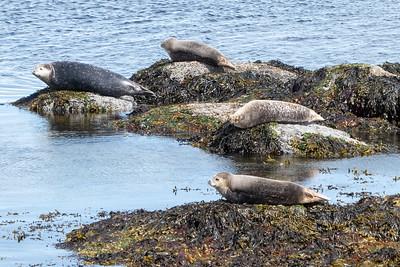 Vigur Island Seals