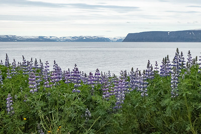 Fjord view with Purple Lupines