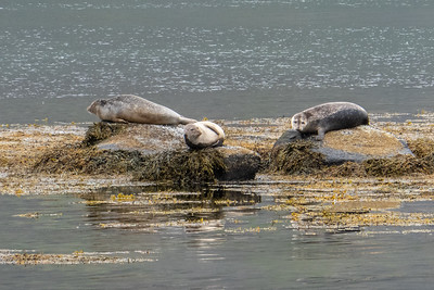 Seals at Hvitanes Peninsula