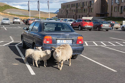 Sheep everywhere!  Fosshotel parking lot