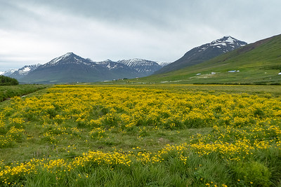 View from Svarfadardalur Nature Reserve and Wildflowers