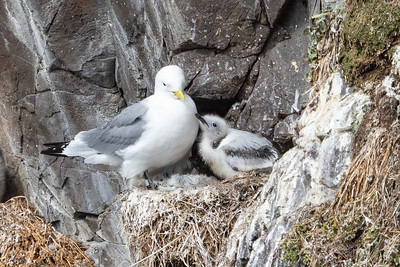 Black-legged Kittiwake and chick