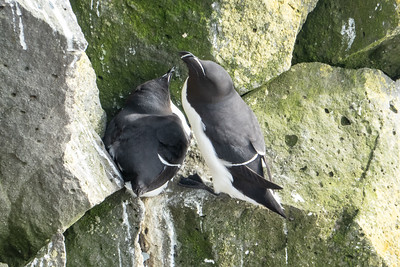 Razorbills at Latrabjarg
