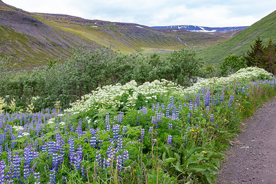 Bunarfoss Hike - Lupine and other Wildflowers