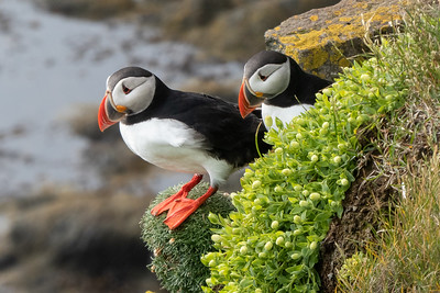 Puffins at Latrabjarg