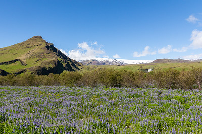 Myrdalsjokull Icecap and Purple Lupine