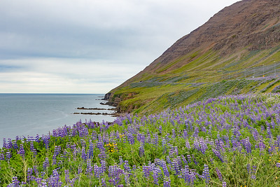 View across Olafsfjorduand Purple Lupine