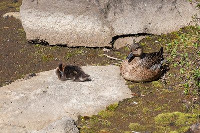 Eider duck and chick