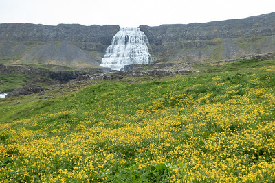 Dynjandi Waterfall and Wildflowers