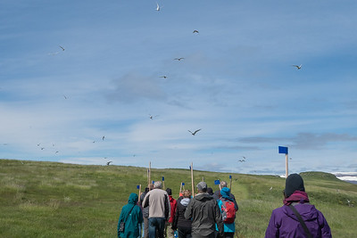 Vigur Island Tour - Arctic Terns divebombing