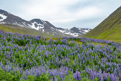 Purple Lupine view