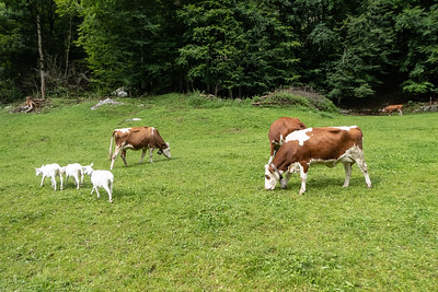 Swiss Cows and Goats
