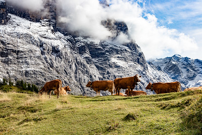 More Swiss Cows
