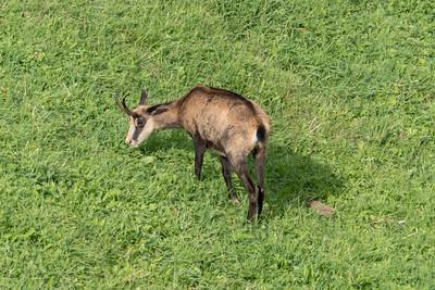 Chamois Goat Antelope