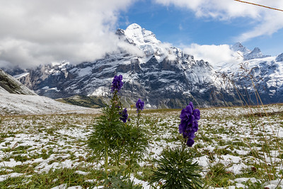 Wildflowers with the Wetterhorn