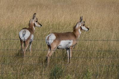 Pronghorn Antelope along I25
