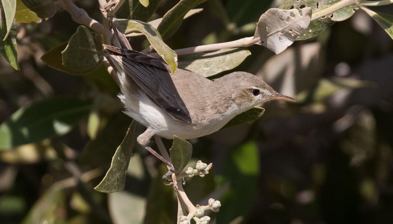 Eastern (Mangrove) olivaceous Warbler