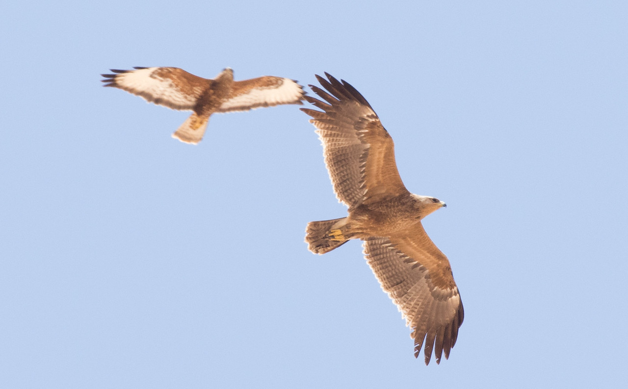 Steppe Buzzard and Lesser spotted Eagle