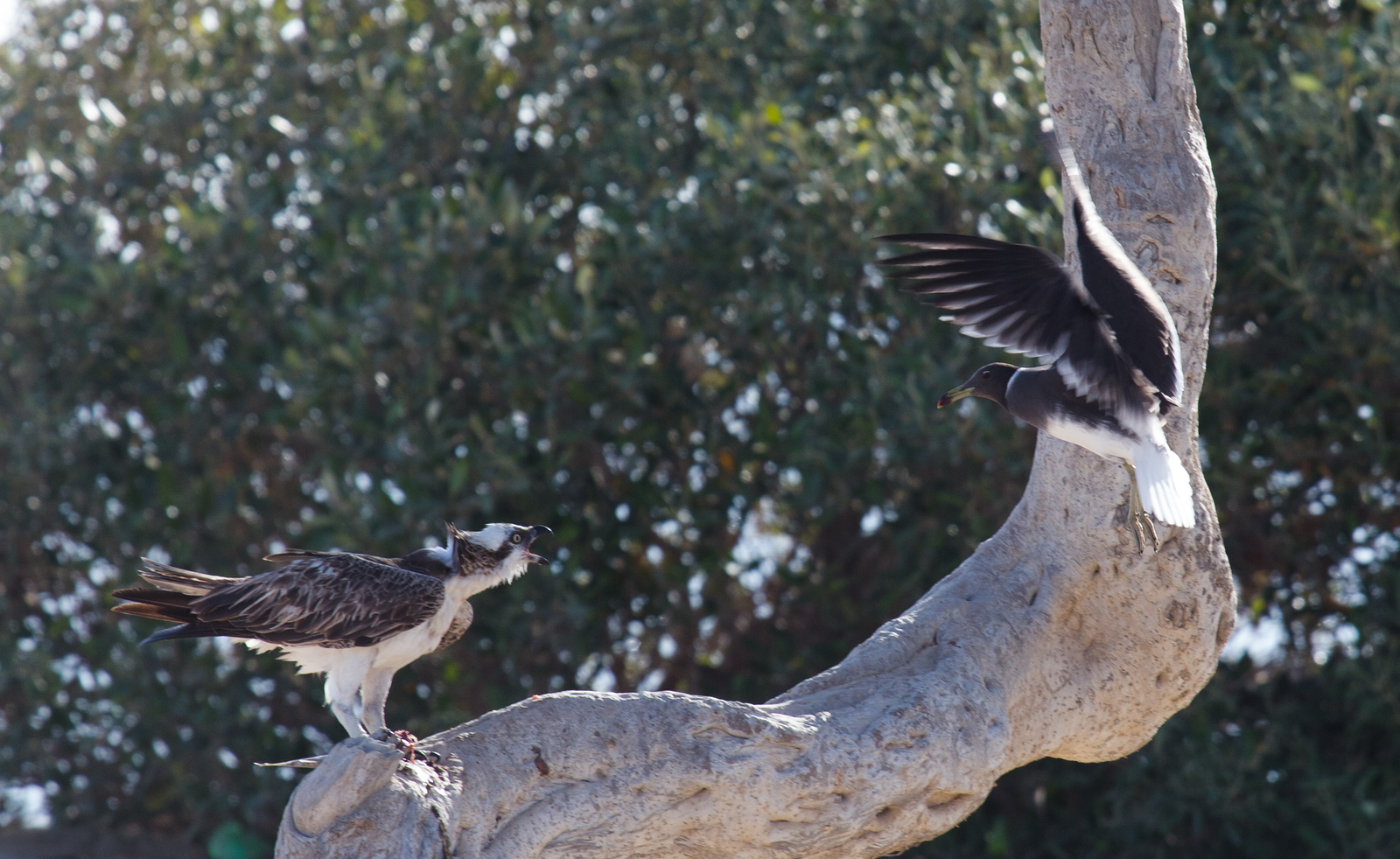 Osprey VS Sooty gull