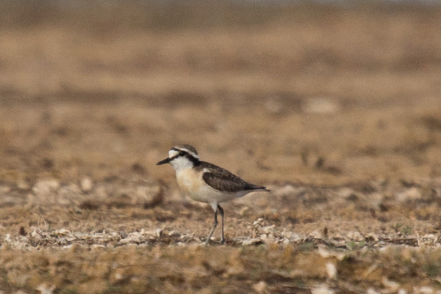 Kittlittz's Plover