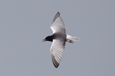 White-winged Tern