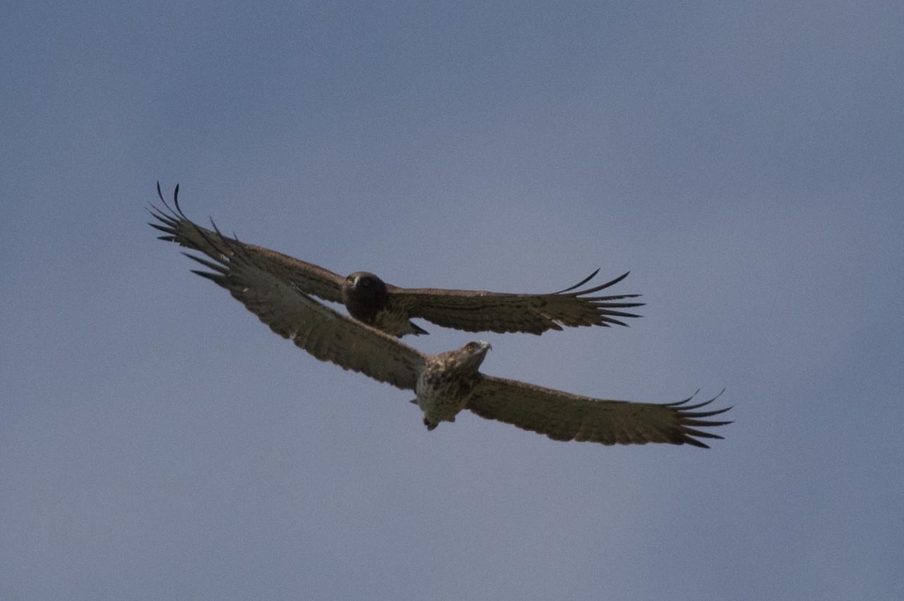 Short-toed Eagles