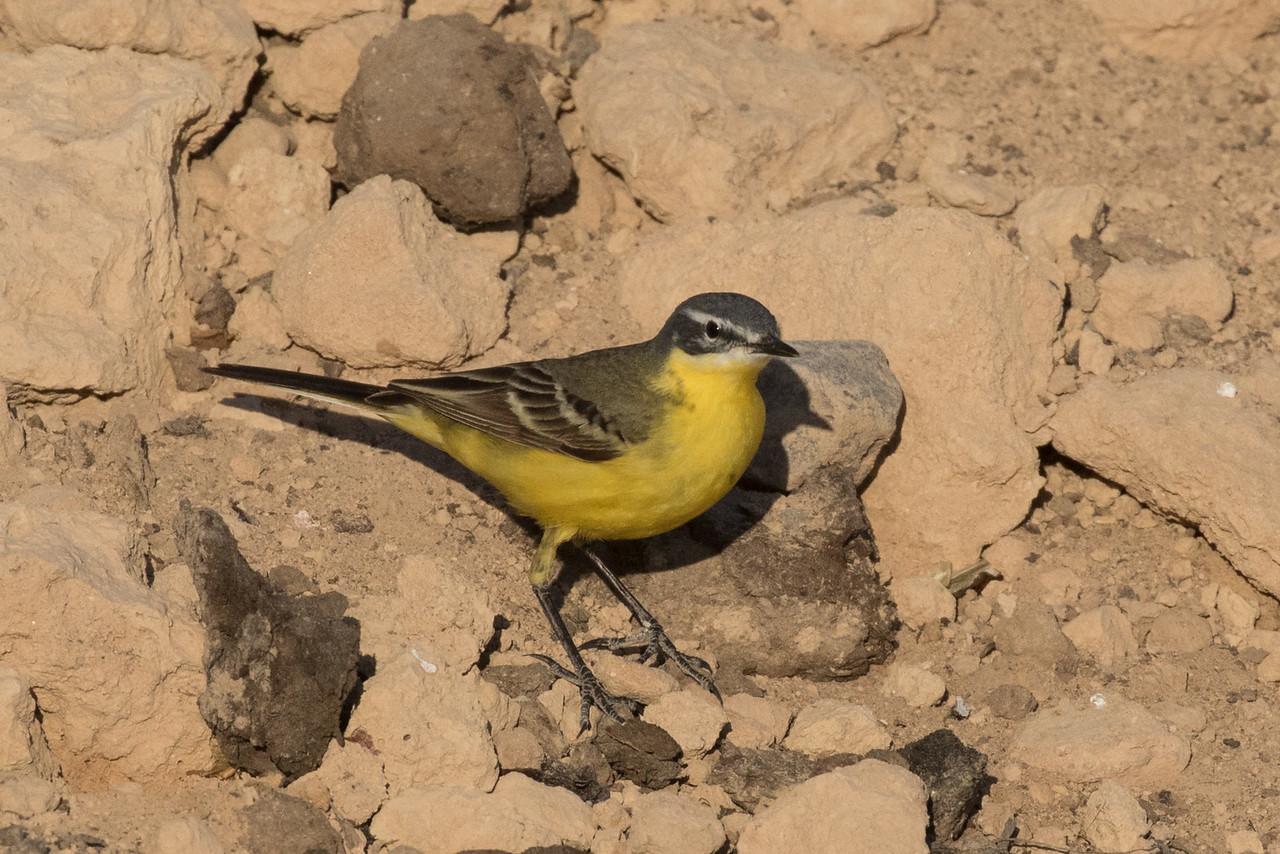 Yellow Wagtail ssp Beema