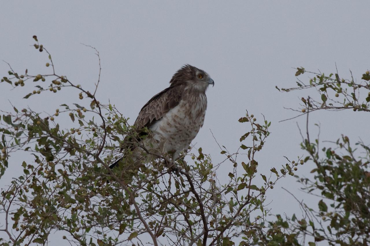 Short-toed Snake Eagle