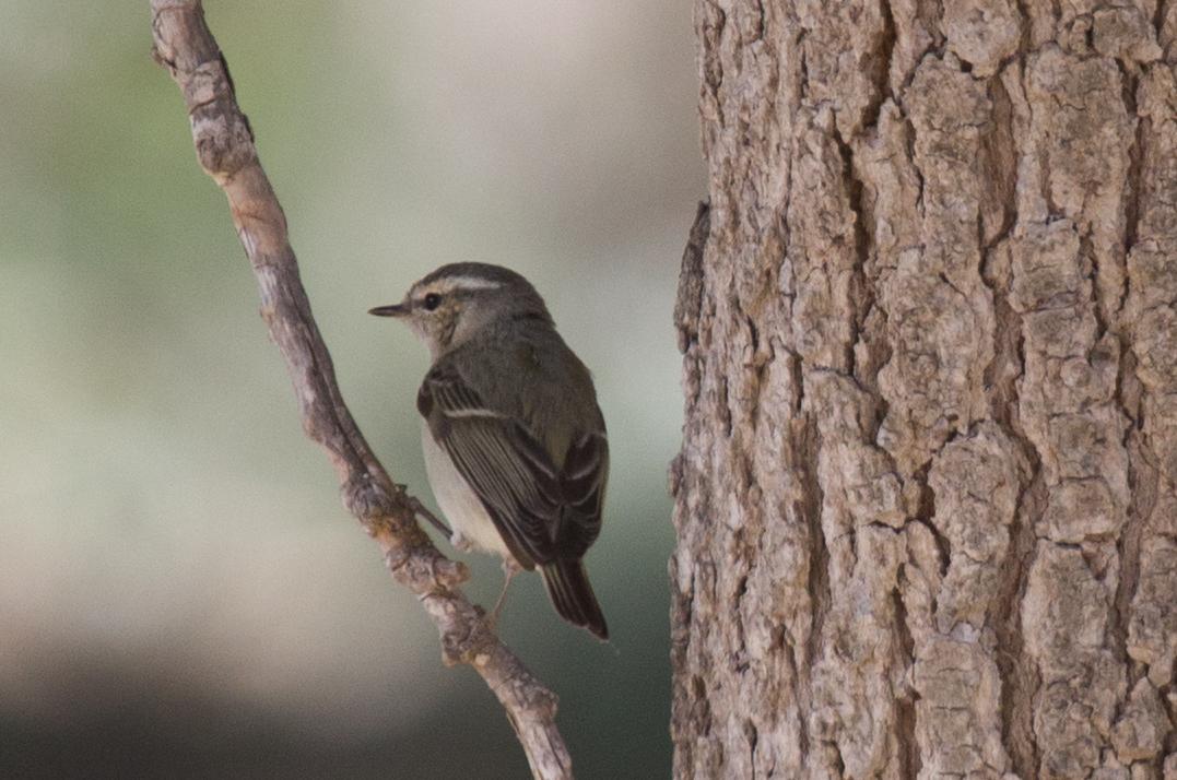 Hume's Leaf-warbler