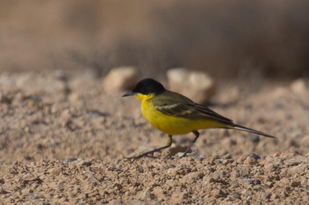 Yellow Wagtail ssp Feldegg