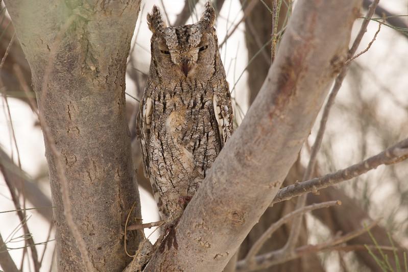 Eurasian Scopes Owl