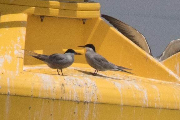 White-cheeked Terns