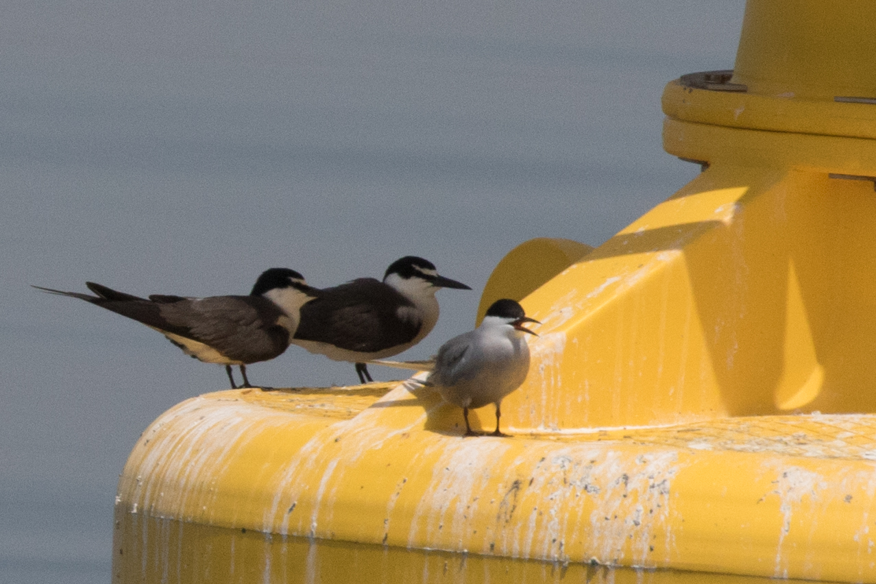 Bridled Terns and White-cheeked Tern