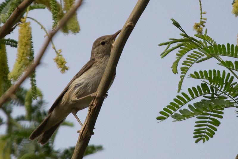 Eurasian Reed Warbler (Ssp Fuscus)