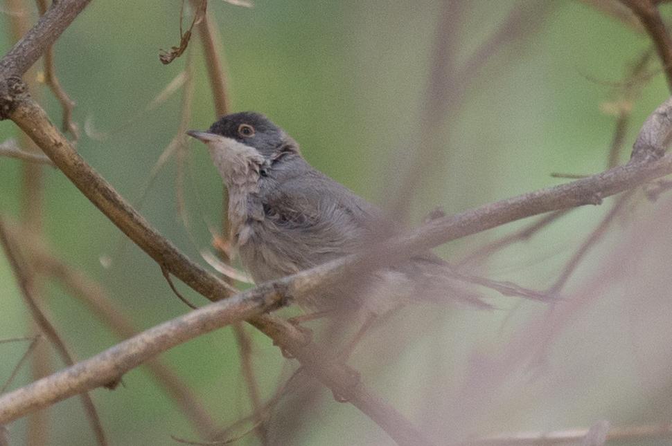 Menetri's Warbler