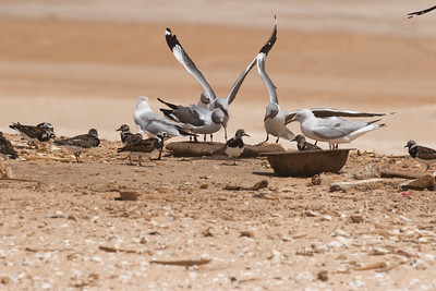 Grey-headed Gulls