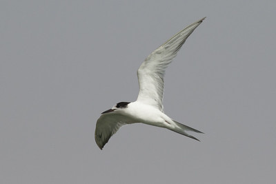 Common Tern 1st winter