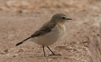 Seebohm's Wheatear - female