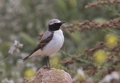Seebohm's Wheatear - male