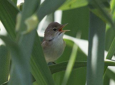 African Reed Warbler (Spp ambiguous)