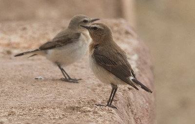 Seebohm's Wheatear in the back and Northern(?) in front