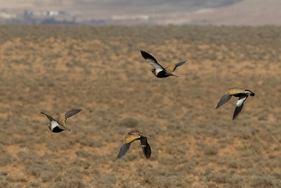 Black+bellied Sandgrouse
