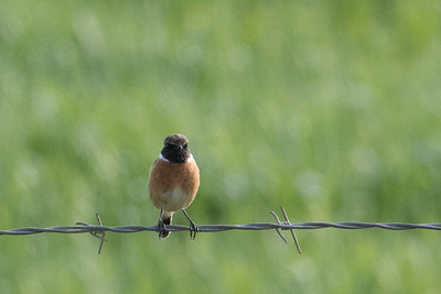 European Stonechat (male)