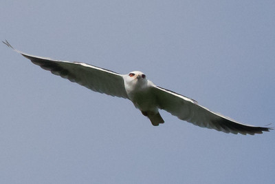 Black-sholdered Kite
