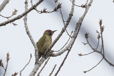 Levailant's Woodpecker